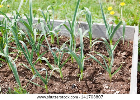Rows of garlic greens growing out of mulch like soil in a raised garden bed. - stock photo