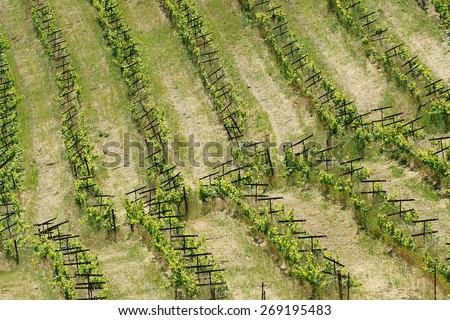 Rows of Grapevines in the Vineyard of a Rural Northern California Mountain Winery - forming nearly perfect geometric lines over the rolling hills, bent only by the curved surfaces of mountainside - stock photo