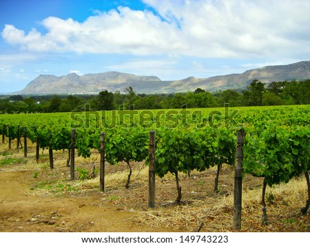 rows of grave vines set against a mountainous backdrop, South Africa. - stock photo
