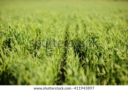 rows of green grass in field - stock photo