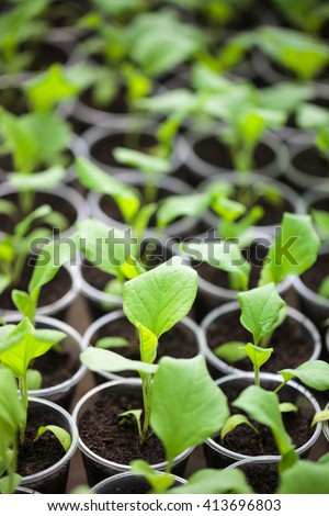 Rows of green plant seedlings in greenhouse. Cultivated young sprouts in rich soil were grown under the sun in glasshouse, macro close up with shallow depth of field and no models - stock photo