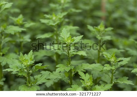 Rows of just planted small chrysanthemum cuttings growing in a Vietnam specialized nursery. - stock photo