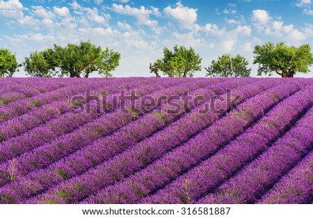 Rows of lavender, green trees and blue sky with clouds, in the lavender fields of the French Provence near Valensole - stock photo