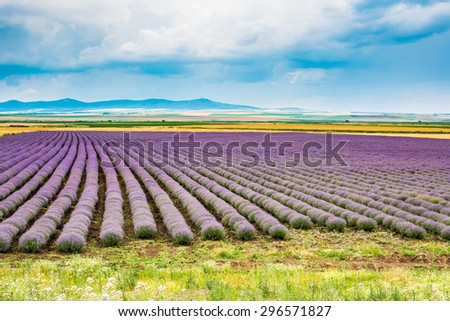 Rows of Lavender starting to bloom at the field and cloudy blue sky background - stock photo
