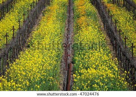 Rows of mustard plants and grapevines at vineyard, Napa Valley, California - stock photo