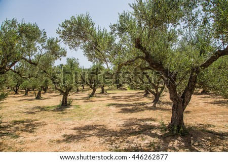 Rows of olive trees in Zakhyntos in morning sun. - stock photo