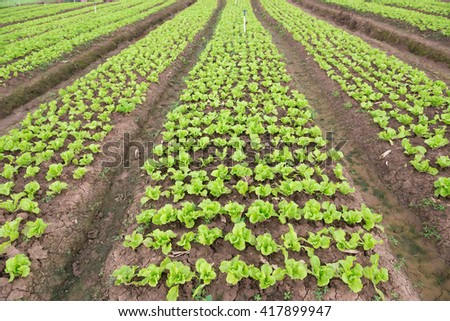 rows of planted lettuce on the field - stock photo
