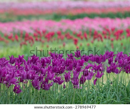 Rows of purple red and pink tulips - stock photo