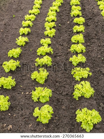 Rows of recently planted curly green leaf lettuce plants in the fertile soil of a small organic vegetable nursery. - stock photo