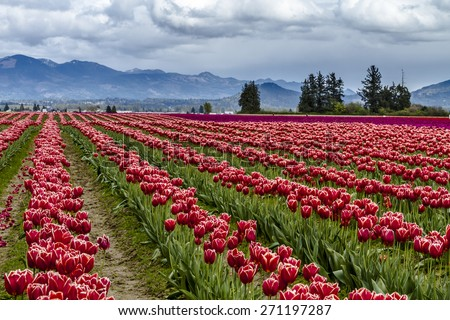 Rows of red and purple tulip flowers on tulip bulb farm on rainy afternoon - stock photo