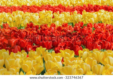 Rows of Red and Yellow Tulips - stock photo
