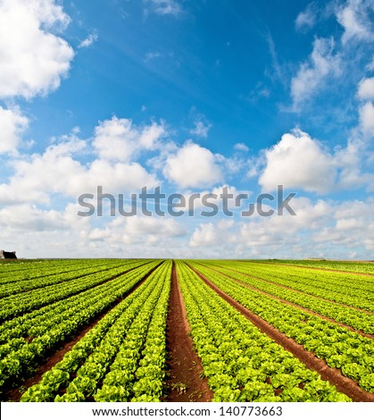 Rows of salad and a blue sky on a field in the Bretagne in France - stock photo