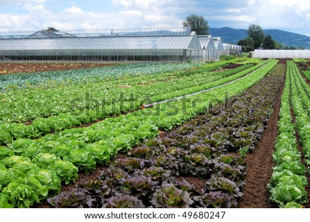 Rows of salad in front of a greenhouse - stock photo