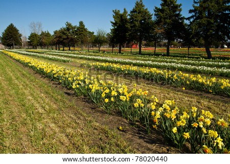 Rows of spring daffodils growing on a farm - stock photo