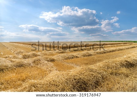 Rows of straw on a stubble field in front of the partially already harvested wheat field. Taken with a light blue sky with cloudscape.  - stock photo