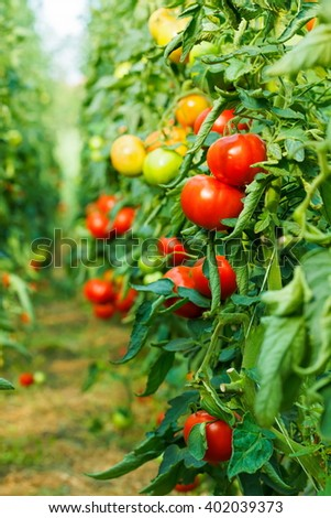 Rows of tomato plants growing in greenhouse - stock photo