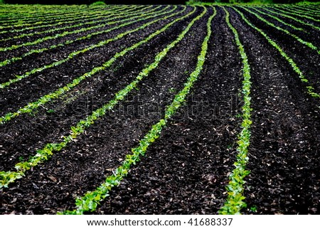 Rows of vegetable crops - stock photo