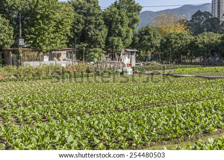 Rows of vegetables in farmland - stock photo