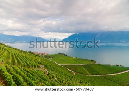 Rows Of Vines on beautiful lake in Vevey 2 - stock photo