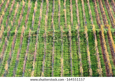 Rows of Vineyard in Autumn - stock photo