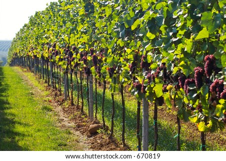 rows of wine grapes in backlight - stock photo