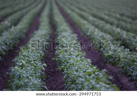 Rows with growing potatos - stock photo