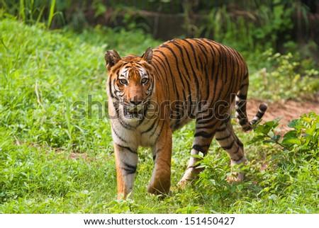 Royal bengal tiger. Sundarban National Park. India - stock photo