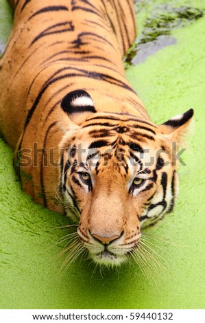 Royal bengal tiger taking a bath at algae pond in Sundarban National Park - stock photo