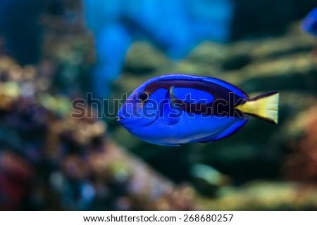 Royal blue regal tang fish swimming through colorful coral reef - stock photo
