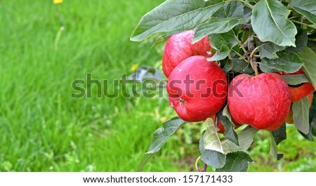 royal gala apples with text space - stock photo