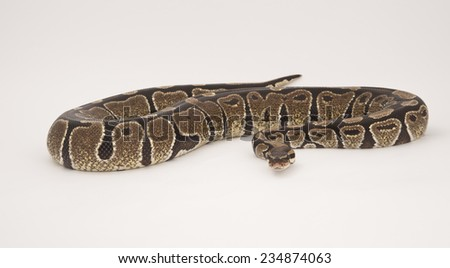 Royal or Ball Python in studio against white background.  - stock photo