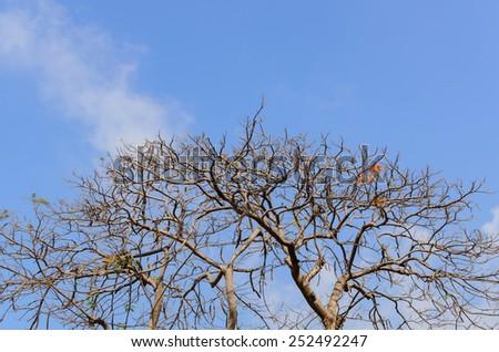 Royal Poinciana Tree leaves astray and blue sky,Thailand - stock photo