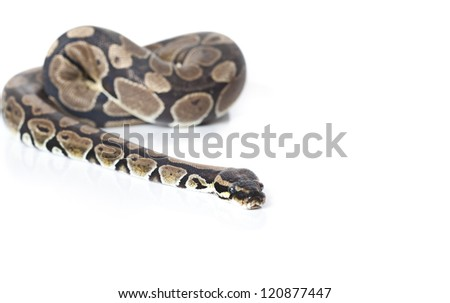 Royal Python in studio against a white background - stock photo