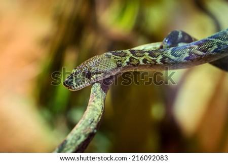 Royal Python on the tree close up - stock photo