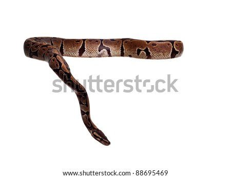 Royal Python, or Ball Python (Python regius), in studio against a white background. A lot of copyspace available. Macrophotography - stock photo