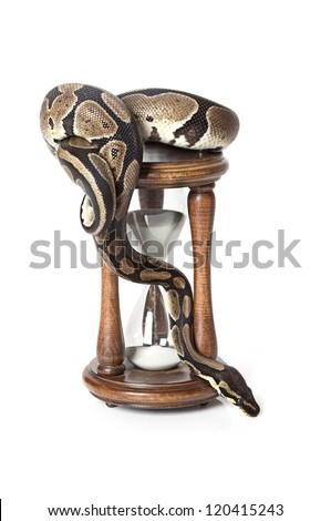 Royal Python with hourglass on white background - stock photo