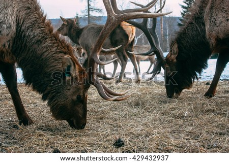 Royal red deers buck with antlers - stock photo