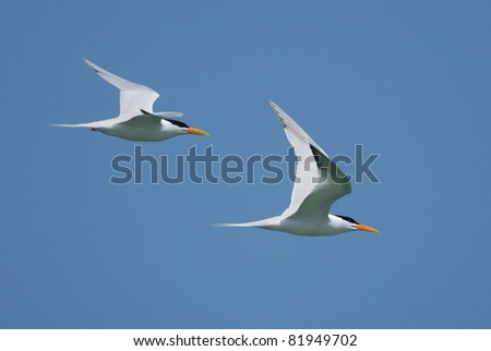 Royal Terns (Sterna maxima) flying in The Gambia - stock photo