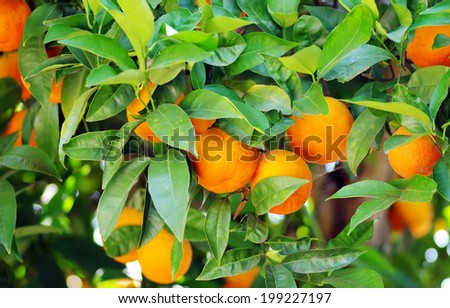 Rpe oranges on plant, orange tree  - stock photo