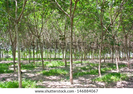 Rubber forest - stock photo