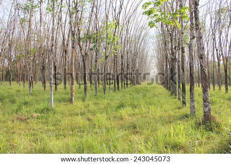 Rubber plant plantation with rows of cultivated trees - stock photo