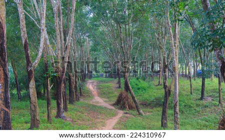Rubber plantation on southern of Thailand - stock photo