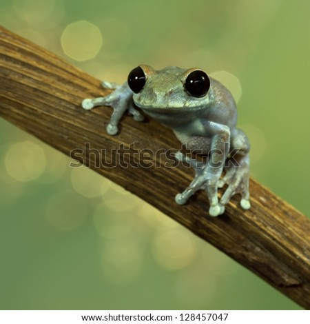 Ruby Eyed Treefrog (Leptopelis Ulugurensi) with a beautiful background - stock photo