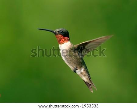 Ruby Throat Hummingbird - stock photo