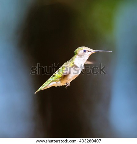 Ruby Throated Humming bird in a boreal forest in Northern Quebec after its long migration north.  - stock photo