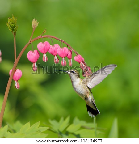 Ruby throated hummingbird (archilochus colubris) female approaching beautiful bleeding heart flowers in the Spring. - stock photo