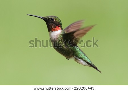 Ruby-throated Hummingbird (archilochus colubris) in flight with a green background - stock photo
