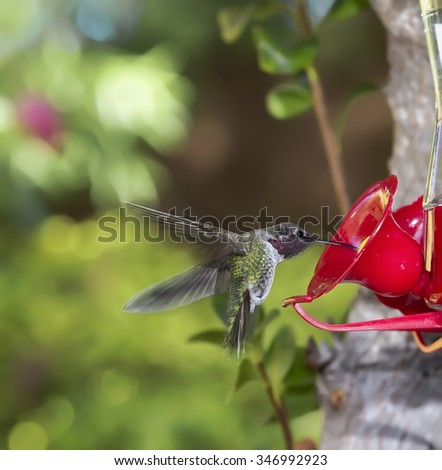 Ruby Throated Hummingbird (Archilochus colubris) male eating from feeder - stock photo