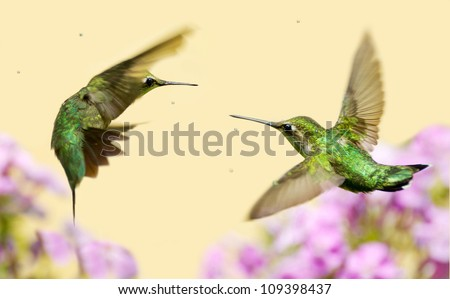 Ruby throated hummingbird female and a juvenile male in motion, fighting over territory. - stock photo