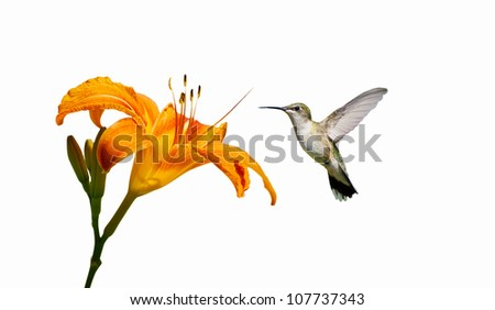 Ruby- throated hummingbird female approaching a pretty orange day lily, isolated on white. - stock photo